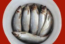 Сельдь слабой соли тушка  400 гр ведро 5 кг Спб